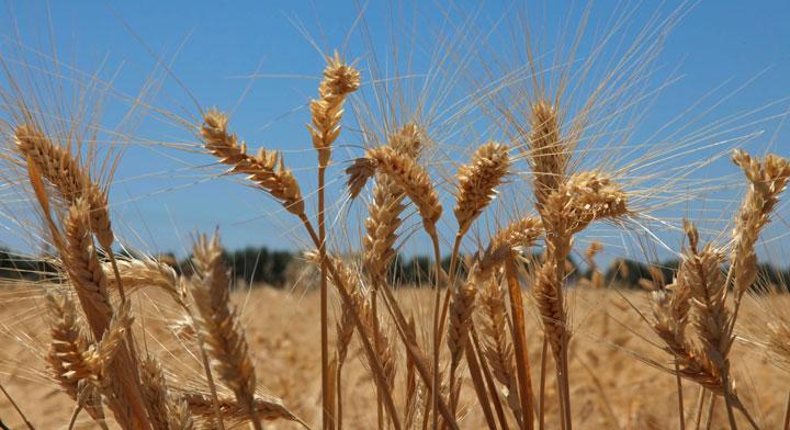 Qué son lo granos básicos? | Secretaría de Agricultura