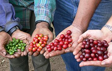 Café: datos preliminares a 2017 indican una producción nacional de 839 mil toneladas