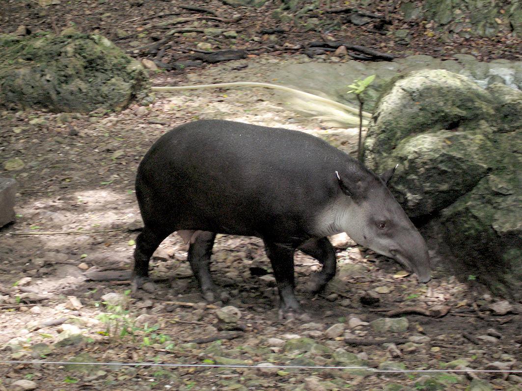 El tapir centroamericano (Tapirus bairdii), también conocido como danta, anteburro o tapir mesoamericano, es el mamífero terrestre de mayor tamaño en el trópico mexicano.