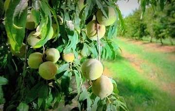 Sabes c mo se clasifican los rboles frutales secretar a de agricultura ganader a - Cuando se plantan los arboles frutales ...