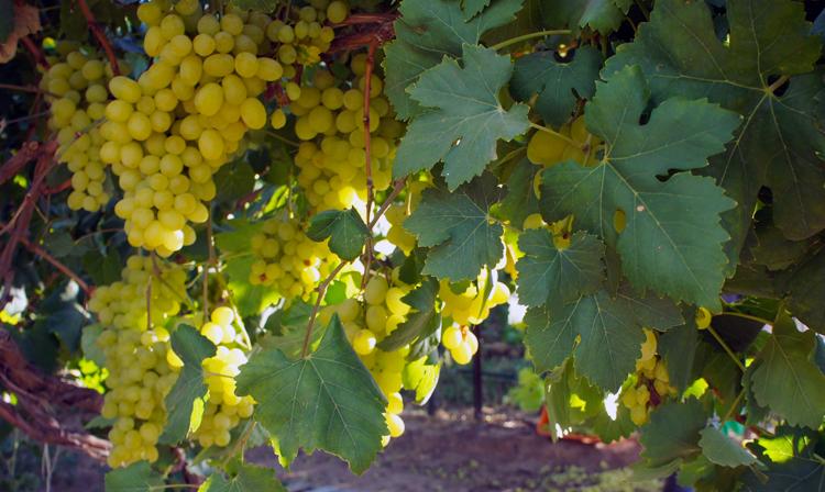 De cada mil toneladas de uva disponibles en el mundo, 5 provienen de México