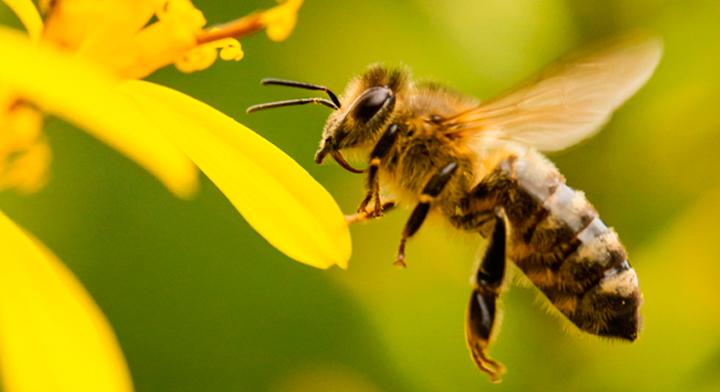 Resultado de imagen para abeja africanizada
