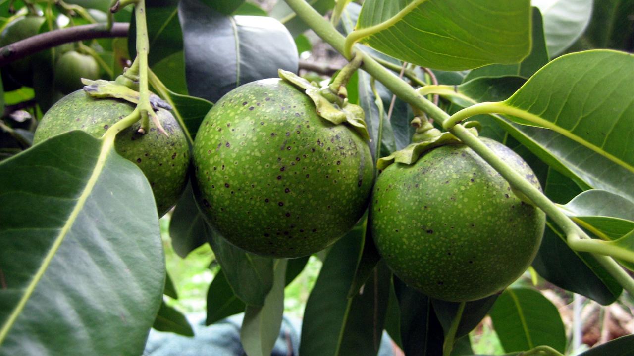Zapote Negro, fruta mexicana con gran sabor y tradición popular