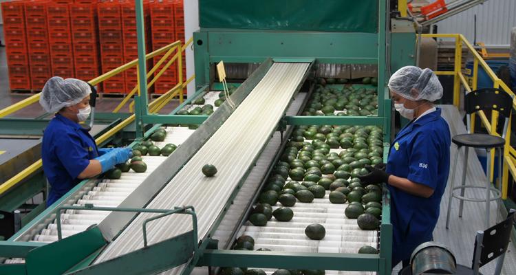 Autoridades sanitarias de China constataron los procesos de inocuidad que llevan a cabo los productores mexicanos en la producción y empaque de Aguacate Hass