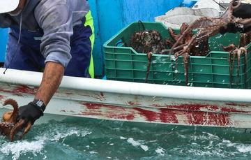 Por ser temporada de captura de pulpo en esa región, no procede su presentación ante otras autoridades para el deslinde de responsabilidades, por lo que la sanción es competencia de la CONAPESCA.