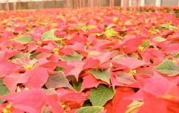 Buscaremos Aumentar la Producción en Morelos con Variedades Nacionales de Nochebuena