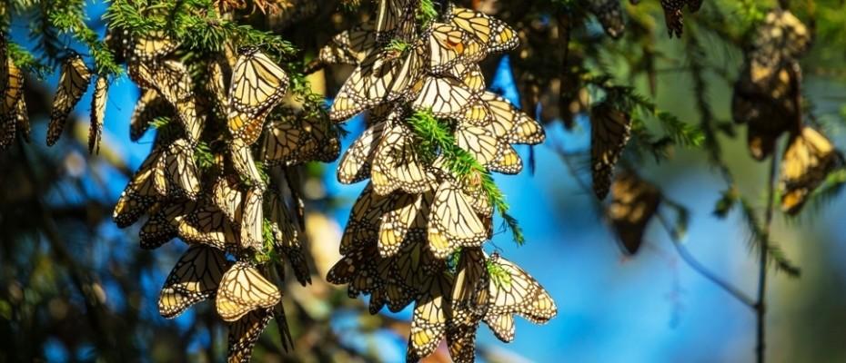 Santuarios Mariposa Monarca
