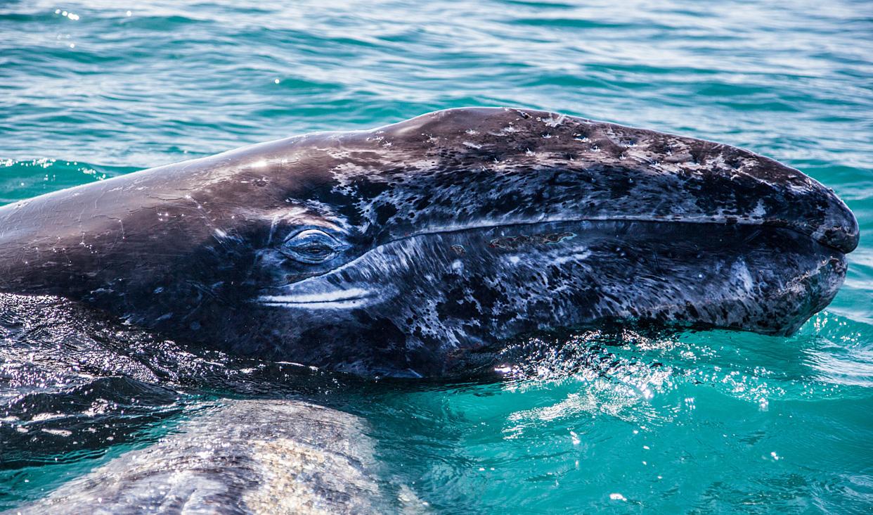 Las Lagunas Ojo de Liebre y San Ignacio, en la Reserva de la Biosfera El Vizcaíno son idóneas para la reproducción de este cetáceo.