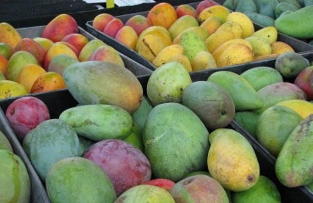 El mango nayarita en riesgo