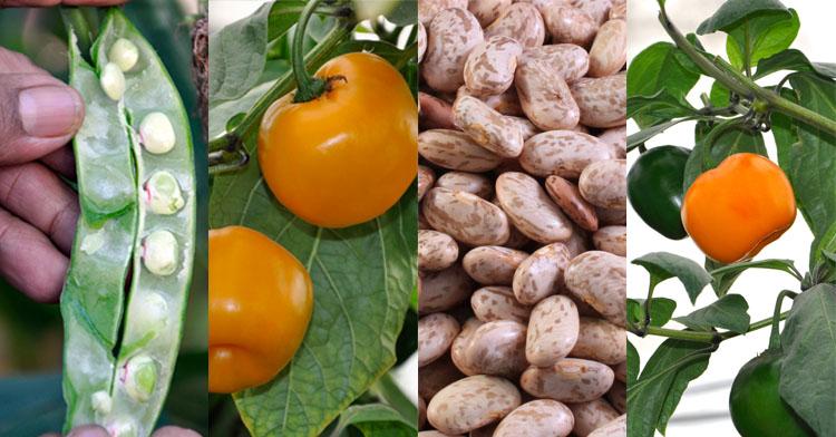 Frijol y chile manzano