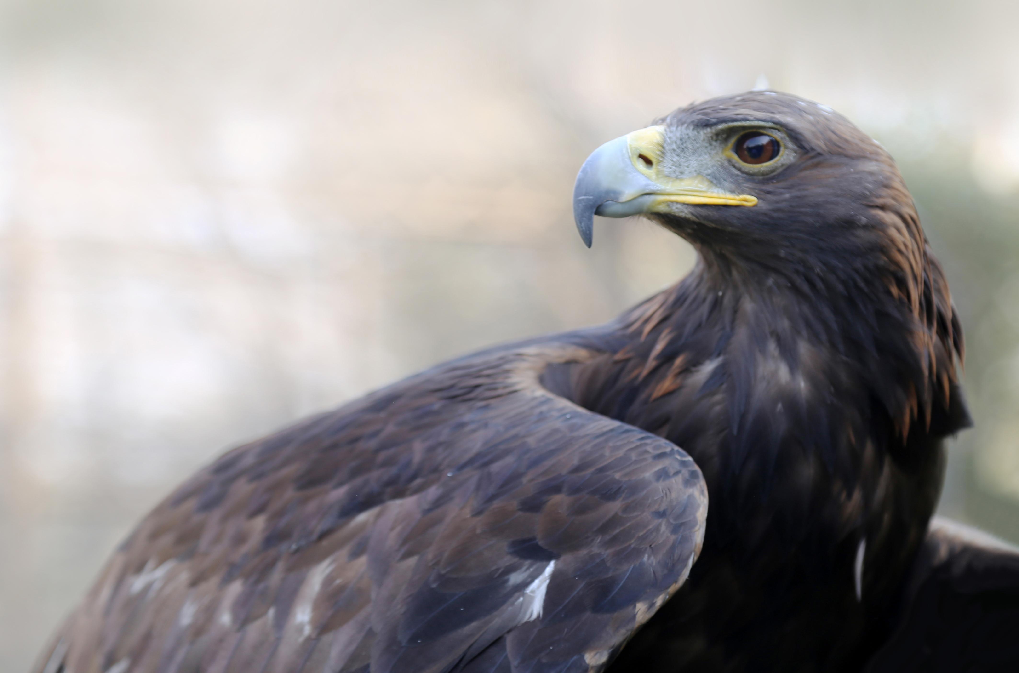 El Día Nacional del Águila Real ya no sólo es una efeméride de concientización, sino también una fecha de celebración por los esfuerzos exitosos para conservar esta especie.