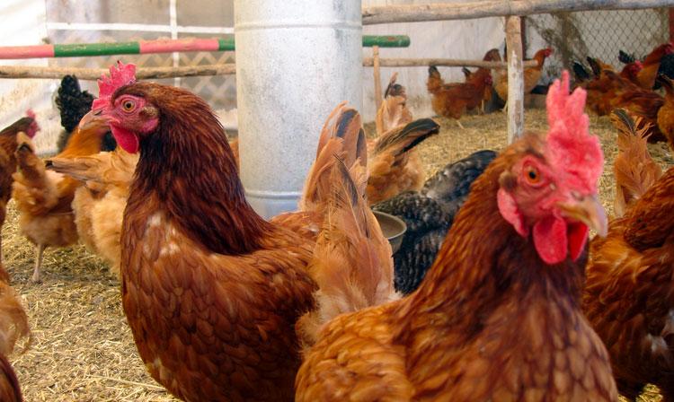 Este evento no afectó a la producción avícola nacional