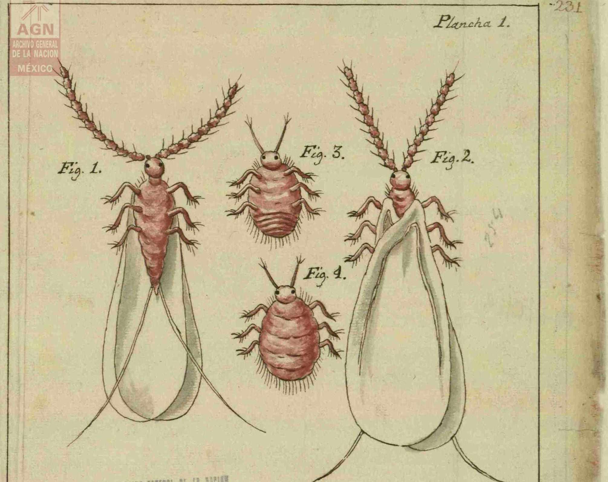 El macho de la grana visto por la parte inferior con microscopio de mucho aumento