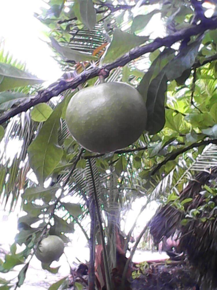 Árbol sagrado de los mayas, de ramas grises retorcidas y porte ornamental, la Crescentia alata o cujete, conocida como jícara o jícaro, tiene un gran arraigo en México.