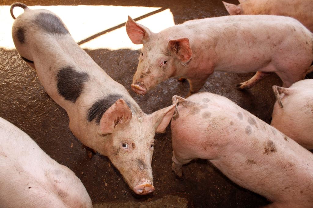 Cerdos volteando hacia arriba.