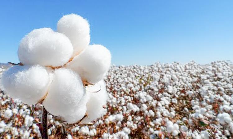 Los avances en la erradicación del gusano rosado y picudo algodonero son producto del trabajo conjunto entre productores y las autoridades sanitarias mexicanas y estadounidenses.