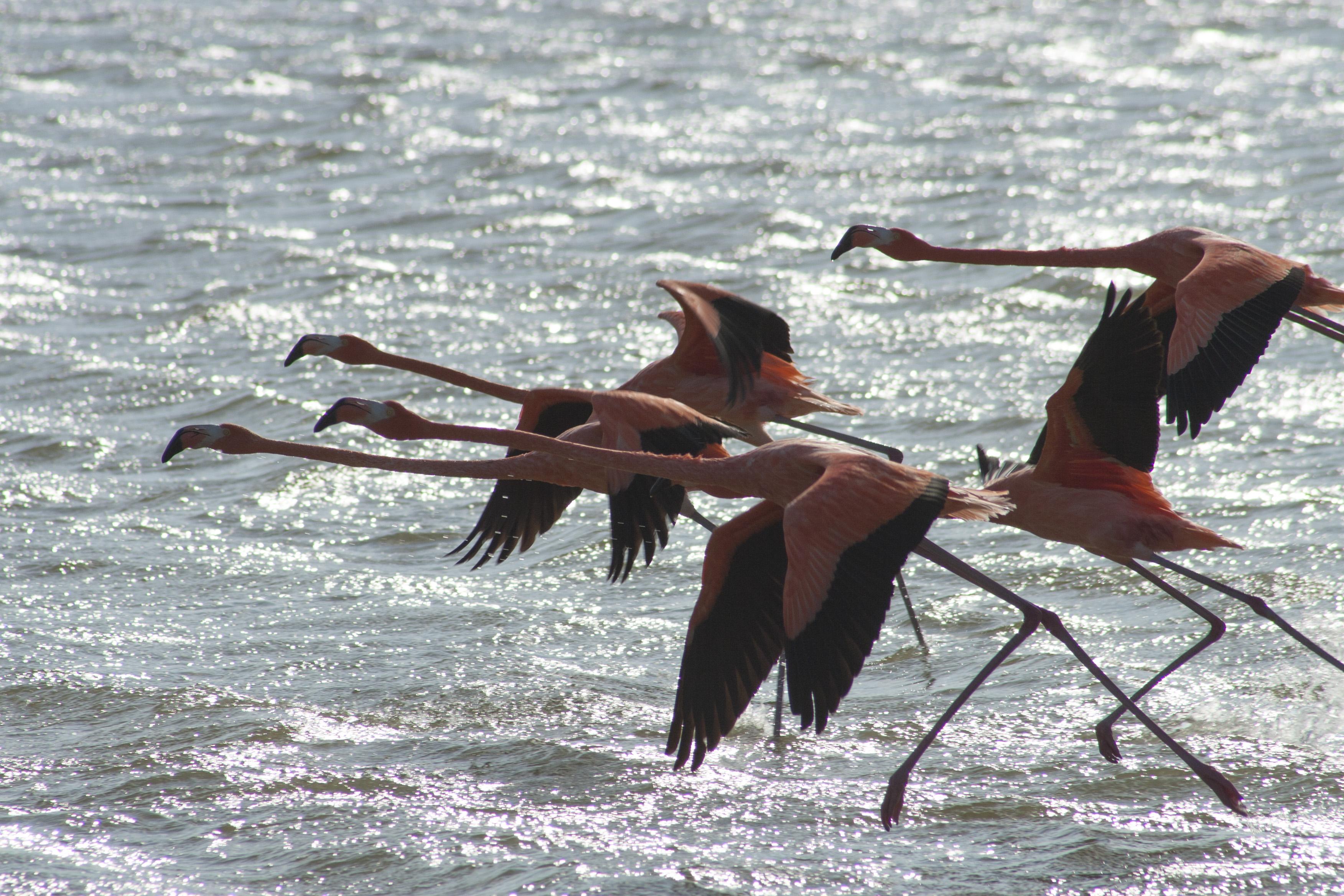 Ejemplares de flamingos rosados emprendiendo el vuelo.