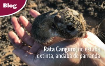 Rata Canguro de San Quintín (Dipodomys gravipes)