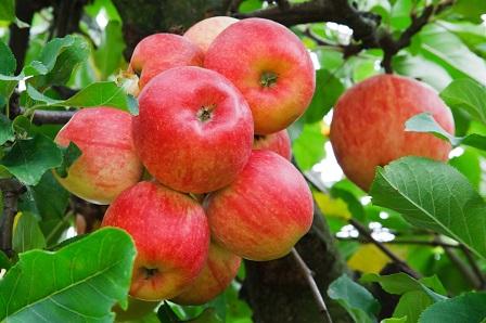 El 99% de la producción nacional de manzana, se destina para satisfacer la demanda del mercado interno