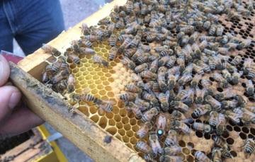 Abejas en un panal de apicultores