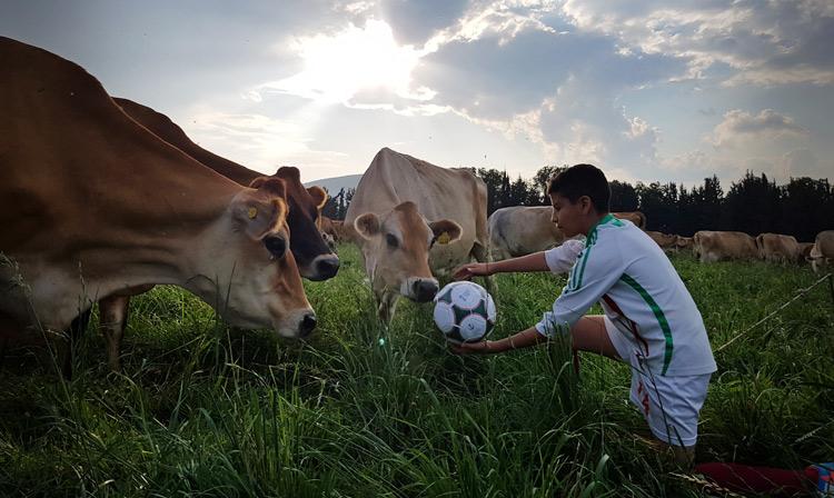 Niño con balón, rodeado de ganado