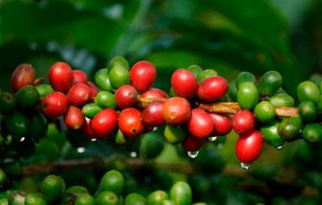 Este aromático se desarrolló en 14 entidades del país. En 2018 destacó Chiapas al aportar 40.7% del total