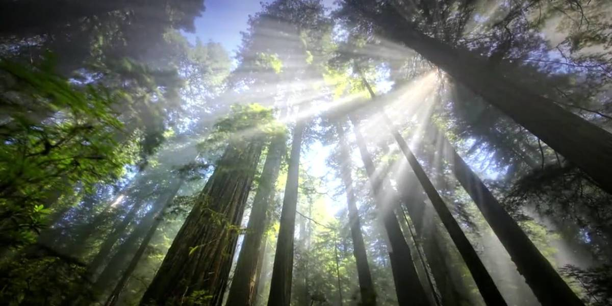 Rayos del sol proyectados en la bruma dentro de un bosque de pinos visto en contrapicada.
