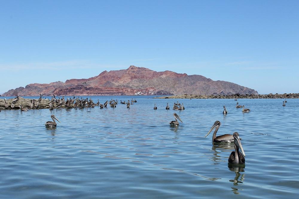 Parvada de pelícanos pardos californianos (Pelecanus occidentalis californicus) flotando en el mar del Golfo de California.