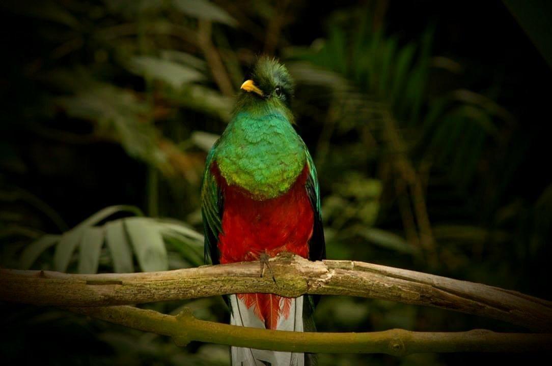 Vista general de quetzal verde parado sobre una rama