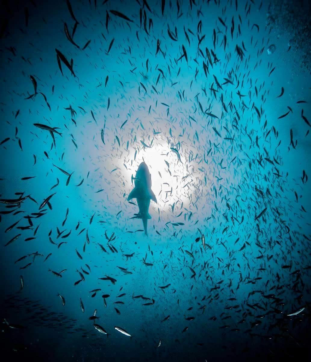 Submarina cenital de cardumen de peces. En medio se ve un tiburón (Selachimorpha).