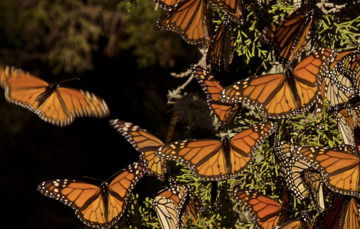 Frontal de grupo de mariposas monarcas