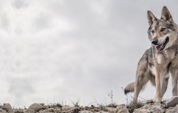 Frontal de lobo mexicano (Canis lupus baileyi). Estado de conservación de la especie: en peligro.