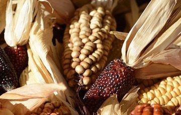 Este 11 de agosto conoce cuál es la importancia del maíz en la alimentación, economía y cultura de México.
