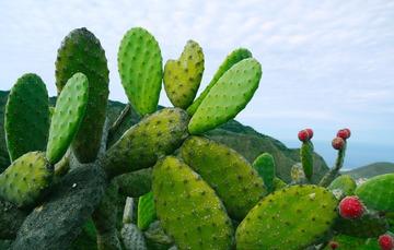 Nopal mexicano, producto consumido por comunidades musulmanas
