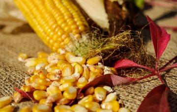 foto de mazorca y granos de Maíz