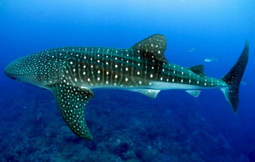 Imagen de un tiburón ballena (gris con puntos blancos sobre su cuerpo).