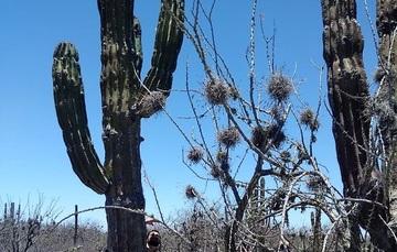 Cactácea de zona árida de México