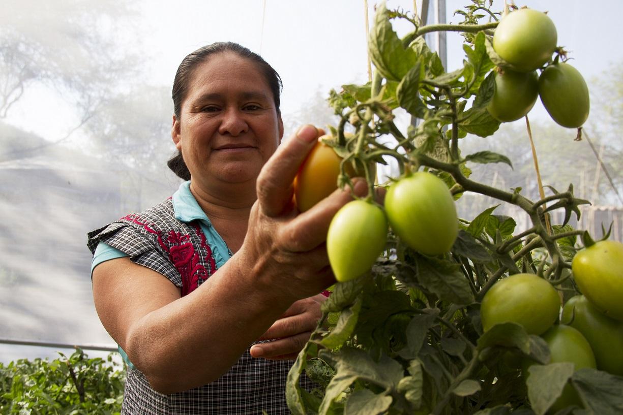Mujer mostrando una planta de tomates
