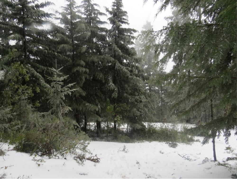 Vista general de bosque de pino con nieve en el suelo.