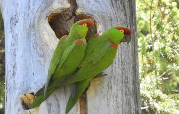 Par de cotorros de la especie cotorra serrana en el tronco de un árbol.
