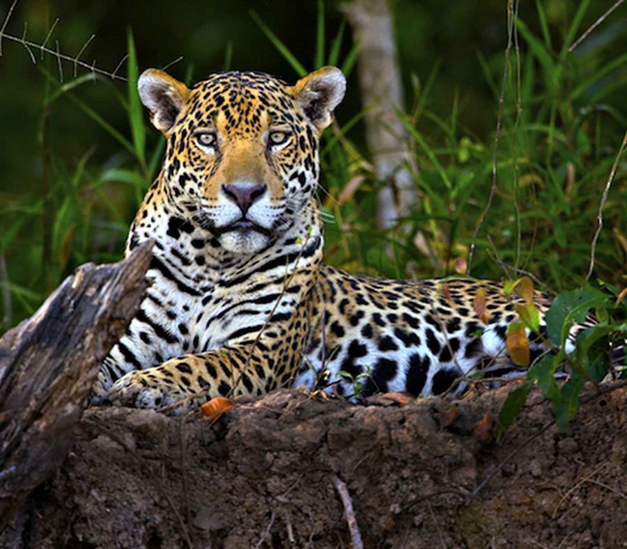 Vista general de jaguar echado en el suelo dirigiendo la mira hacia el espectador.
