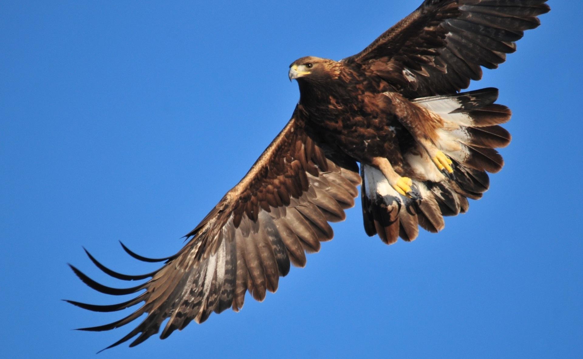 Vista contrapicada de águila real volando en el cielo.