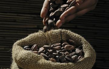 Manos tirando cacao en un costal.