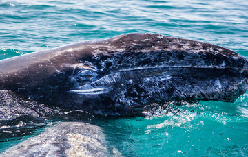 Vista detallada de cabeza de ballena gris en hábitat