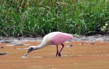 Imagen general de ave migratoria bebiendo agua en laguna.