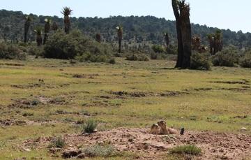 Perrito de la pradera parado en campo abierto.