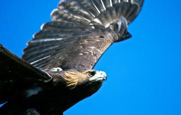 Vista detallada de cabeza de águila real durante vuelo.