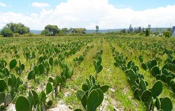 La cuenca de México es actualmente el hábitat de más de una docena de especies de nopales.