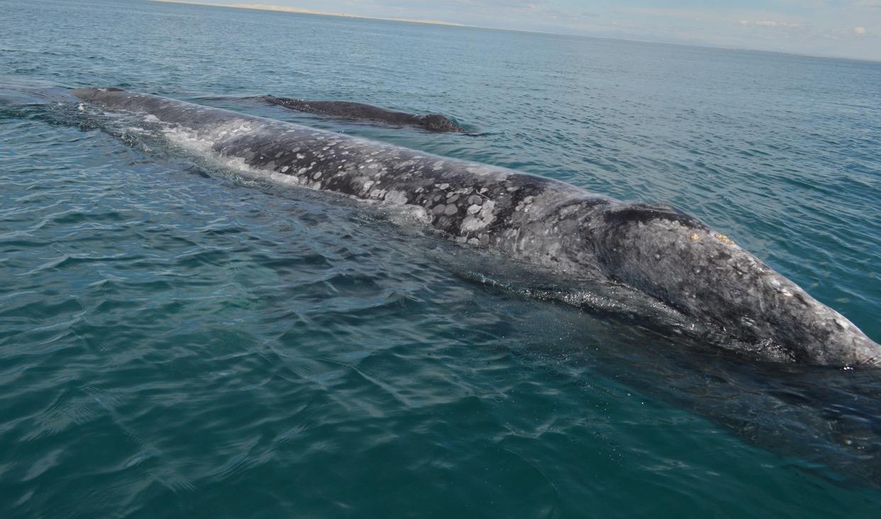 Vista parcial de ballena gris en laguna.