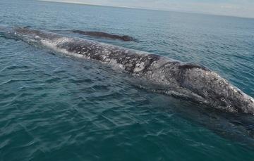 """México fue el primer país en establecer el concepto de """"santuario natural para la protección de las ballenas""""."""
